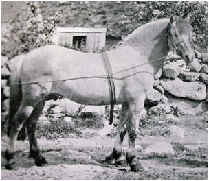 history of the przewalskis horse The przewalski's horse (takh or takhi in mongolian) is the ancestor of today's domestic horses as a species it was never domesticated and is therefore the w.